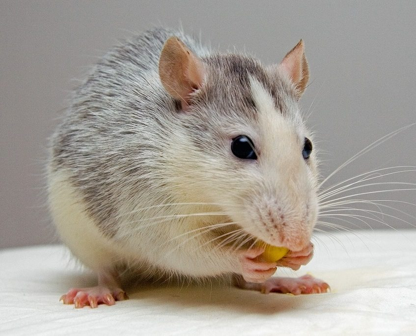 rat-pets-eat-51340crop